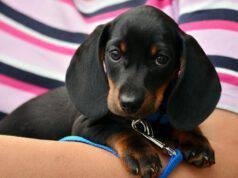 Cosa rischia chi investe un cane e scappa (Foto Pixabay)