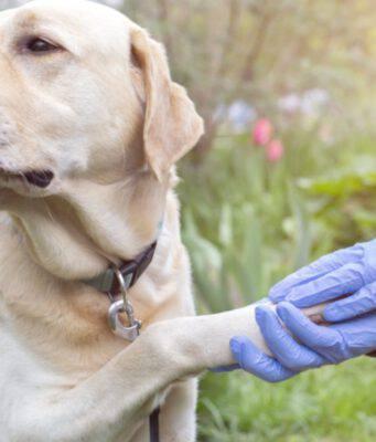 dermatite interdigitale cane