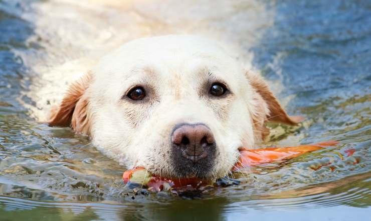 Il cane a nuoto (Foto Pixabay)