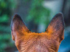 Le orecchie del cane puzzano