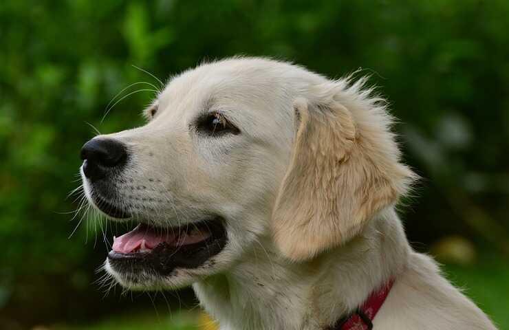 cane adulto (Foto Pixabay)