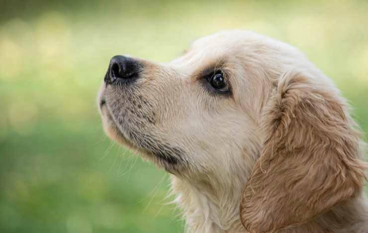 Il cucciolo dallo sguardo malinconico (Foto Pixabay)