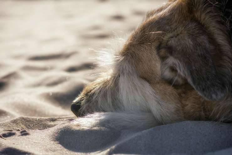 Cane sulla sabbia (Foto Pixabay)