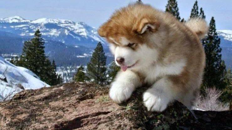 Cucciolo di Alaskan Malamute