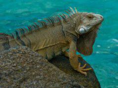 In vacanza con iguana: come comportarci o come lasciarla a casa
