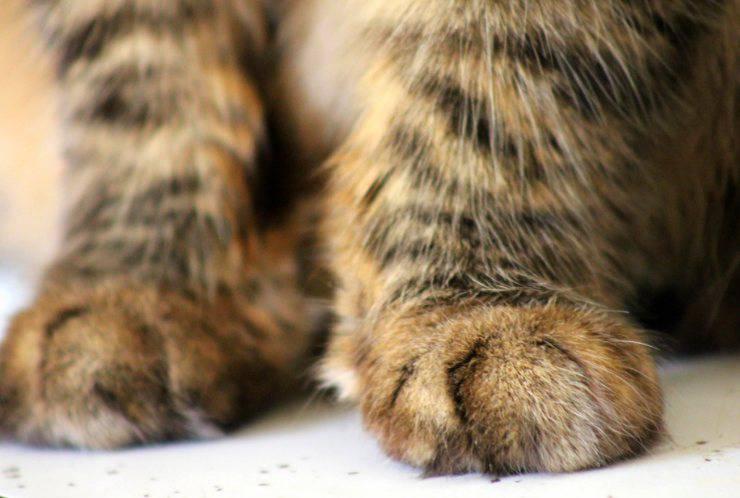 Proteggere le zampe del gatto dal caldo