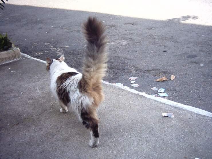 Il gatto alza la coda, e tutte le altre posizioni: cosa vuole comunicare