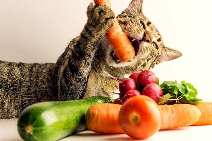 gatto carote