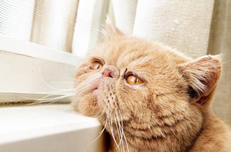 sindrome da disautonomia nel gattonel gatto