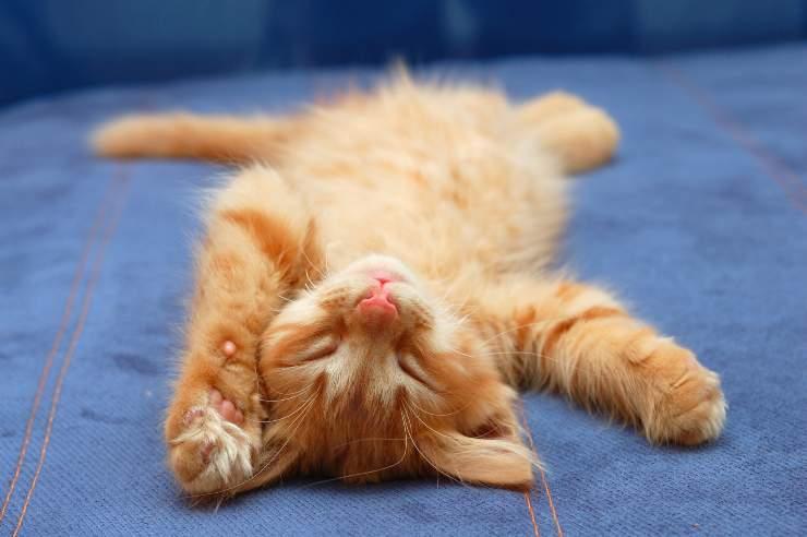 curiosità sulla pancia del gatto