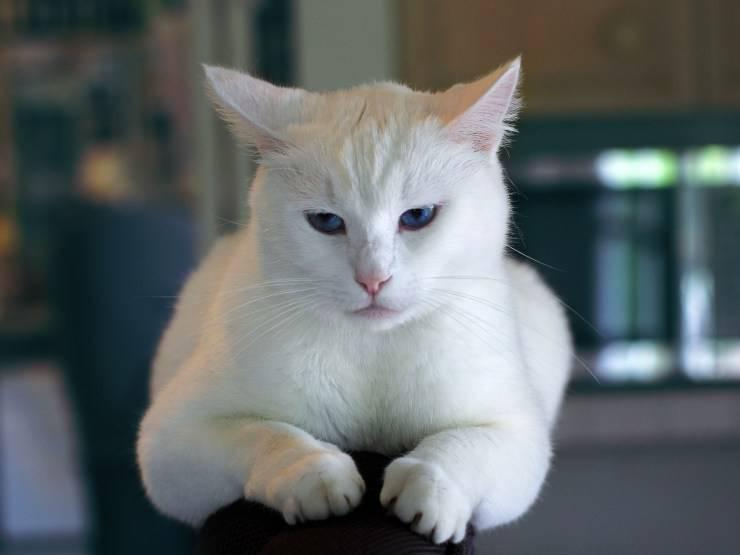 I principali disordini alimentari del gatto