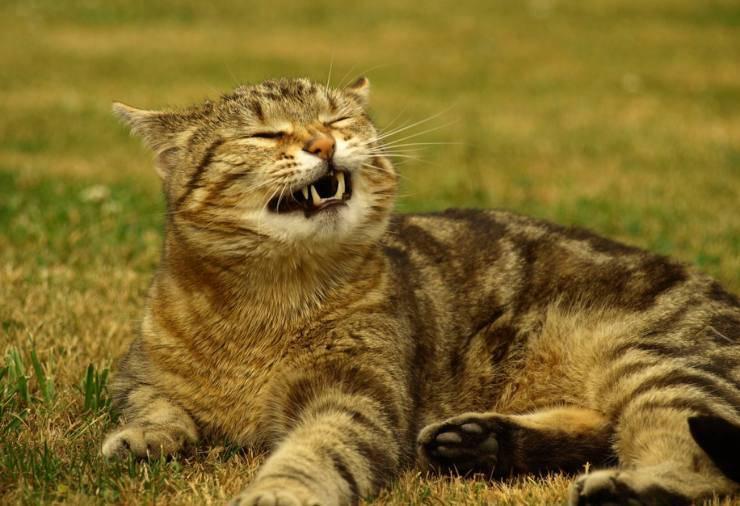 Allergie stagionali del gatto