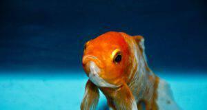 I pesci rossi cambiano colore: