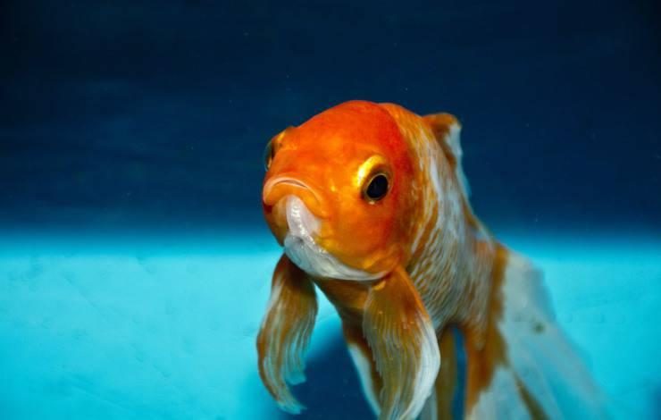 I pesci rossi cambiano colore