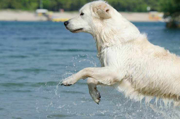 un cane bianco in acqua (Foto Pixabay)