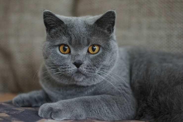 Il gatto grigio dallo sguardo fisso (Foto Pixabay)
