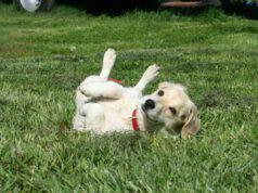 il cucciolo di cane inciampa sempre