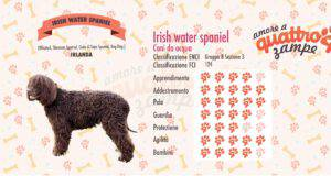 Irish Water Spaniel scheda razza