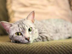 iperestesia nel gatto