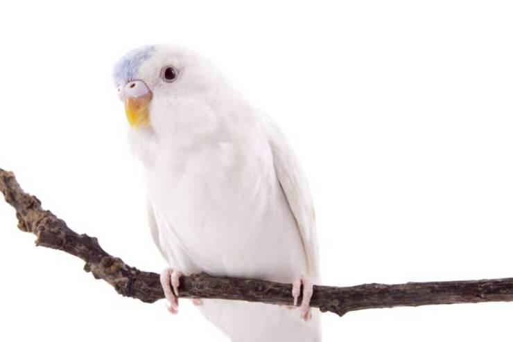 Uccelli albini: pappagallo (iStock Photo)
