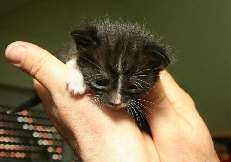 gattino campana