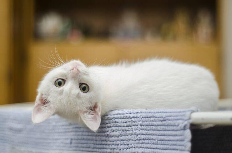 Il gatto è un animale carnivoro (Foto Pixabay)