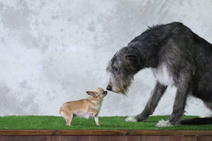 cane grande e piccolo