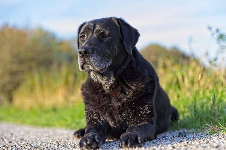 Invecchiamento del cane: i 5 segnali inequivocabili (Foto Pixabay)