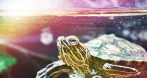 Le tartarughe d'acqua dolce possono stare al sole