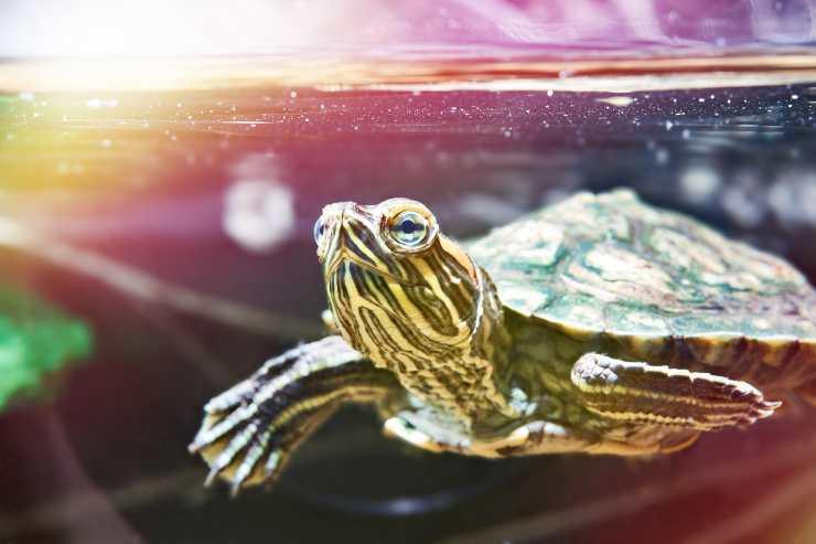 le tartarughe d acqua dolce possono stare al sole