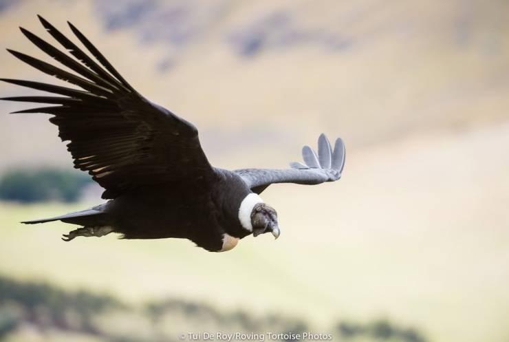 Un condor andino in volo