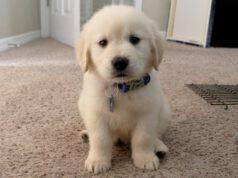 Adottare un cucciolo di Golden Retriever