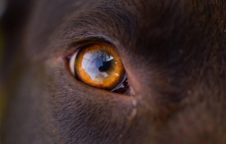 cane occhio