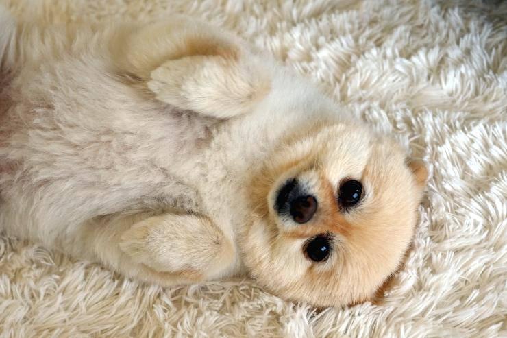 pancia dura e gonfia nel cane