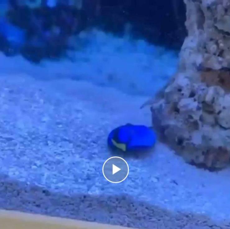 pesce dory