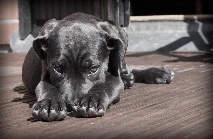 Una grande quantità di mirtilli può causare problemi al cane (Foto Pixabay)
