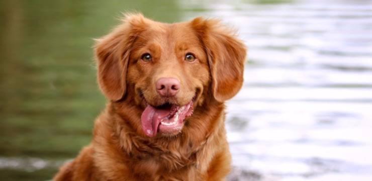 cane tira fuori lingua perché
