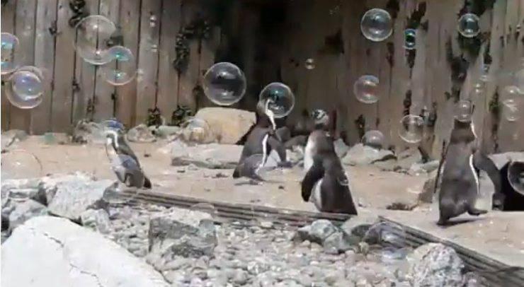 pinguini bolle