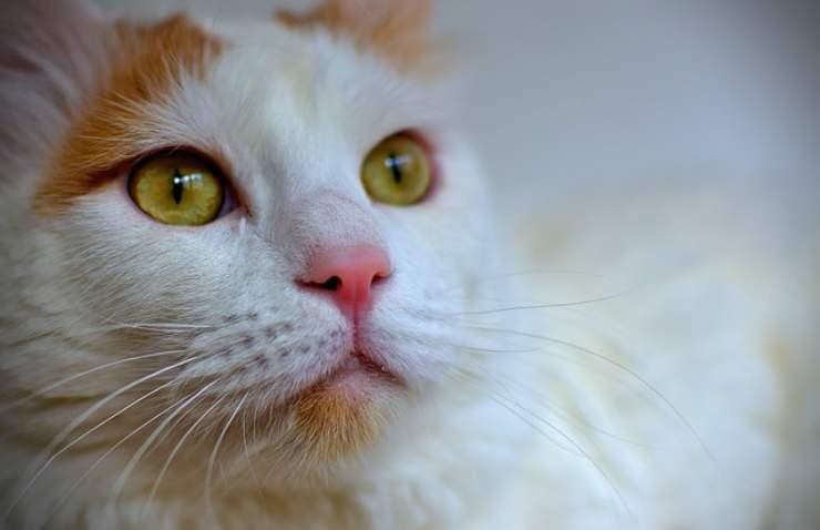 razze di gatti più intelligenti