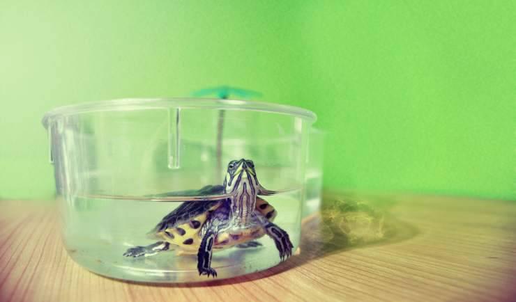 tartaruga in vasca