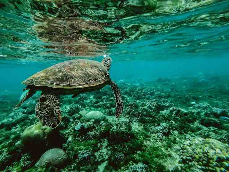 la pulizia per la tartaruga