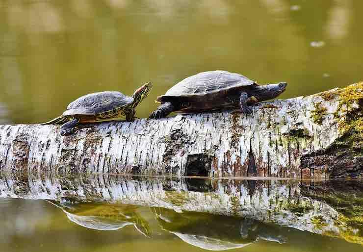 tartarughe acqua