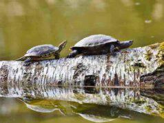 le tartarughe d'acqua
