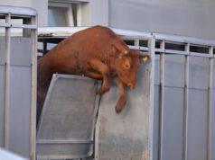tilda mucca fuggita camion