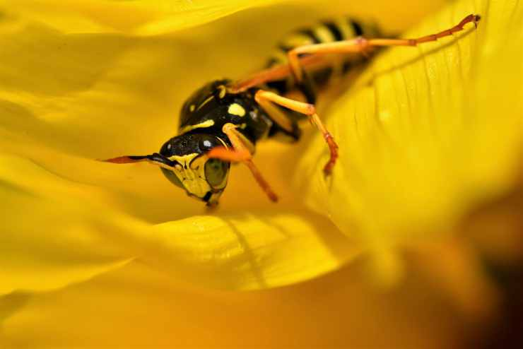 La vespa sul fiore (Foto Pixabay)y
