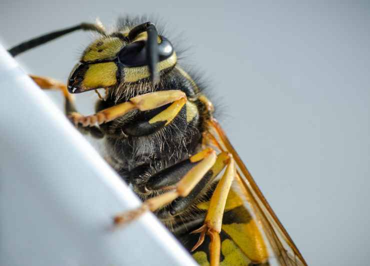 L'insetto temuto (Foto Pixabay)