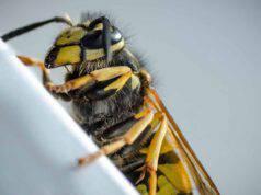 La vespa in primo piano (Foto Pixabay)