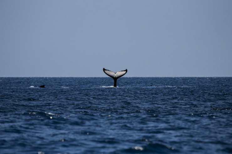 Una balena in acqua (Foto Pixabay)