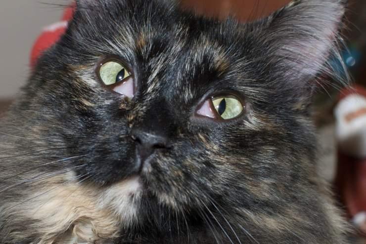 herpes virus felino nel gatto