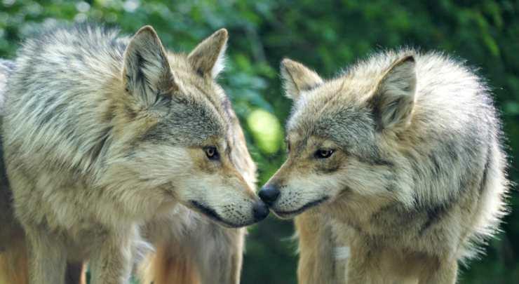 Due teneri lupi (Foto Pixabay)